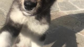 German shepherd puppy shakes hands on concrete - Video