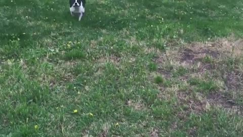 Boston Terrier gets the zoomies!
