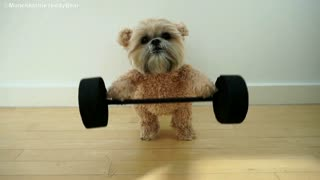 Munchkin The Teddy Bear Loves To Workout - Video