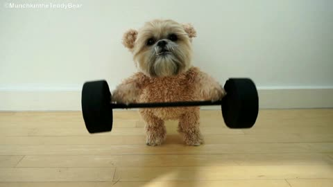 Munchkin The Teddy Bear Loves To Workout