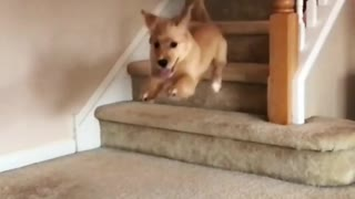 Puppy runs down staircase and skips last step