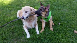Golden Retriever reluctantly shares stick with German Shepherd puppy  - Video