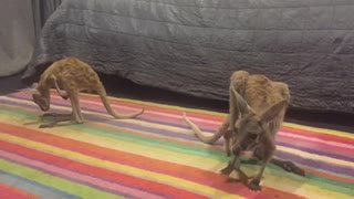 Baby Kangaroo Learning to Bounce - Video