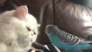 Patient cat allows helpful parrot to groom eyelids
