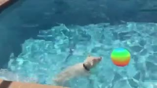 Water-loving Westie plays with new pool toy - Video