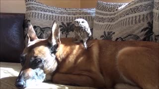 Adorable baby owl casually hangs out on top of dog