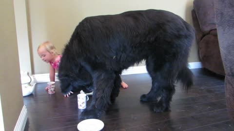 Toddler and giant Newfoundland have a tea party