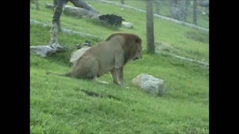 Lion has priceless reaction after touching grass for first time