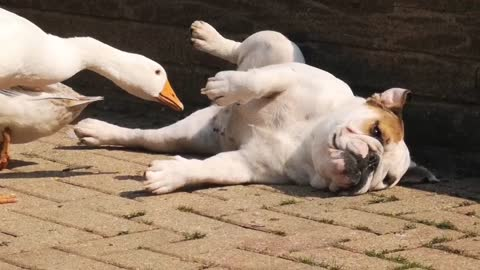 Curious ducks can't stop pestering bulldog
