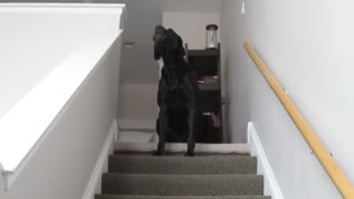 Black lab dog imitates owner's siren impression