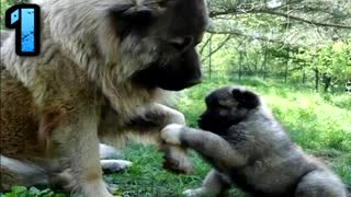 Top 10 Biggest Guard Dogs In The World - Video