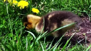 Abandoned gosling finds hope with caring family - Video