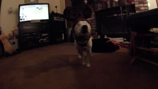 Eyeless Jack Russell thinks she's a reindeer! - Video