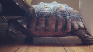 Turtle can't fit under chair, hilariously walks in place - Video
