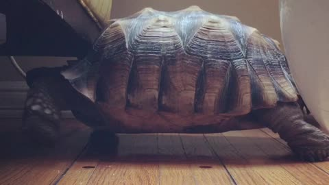 Turtle can't fit under chair, hilariously walks in place