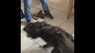 Dog chases laser pointer around kitchen