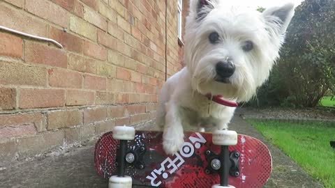 Talented Westie Puppy Shows Off Some Incredible Skills