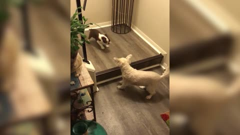 Dog Teaches Puppy How To Use The Stairs