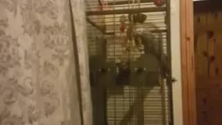 Roxy the parrot singing Blurred lines  - Video