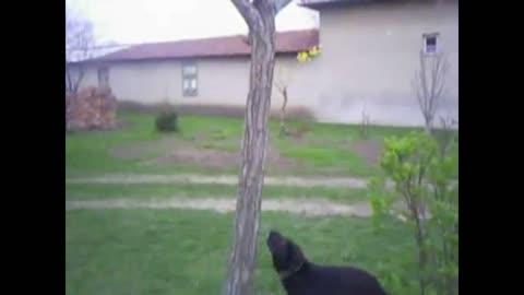 Clever dog climbing up a tree for the ball