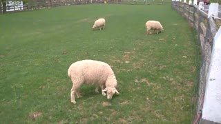 Grazing Sheep  - Video