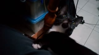 Kitten falls asleep while playing with owner - Video