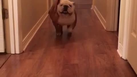 Gerald the Bulldog does the Get Out Challenge