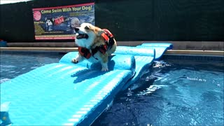 Corgi puppy enjoys playtime in the pool - Video
