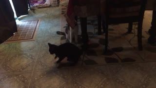 Cutest Kitten gets dizzy chasing laser pointer!