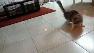 Playful cat vs. laser pointer - Video