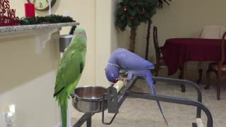 1. Indian Ringnecks Talking to Each Other/ 2. Indian Ringneck Mating Dance