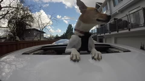 Basenji cross Poncho goes for a drive in the city