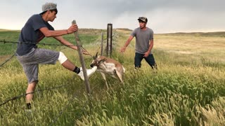 Antelope Rescued from Barbed Wire Fence - Video