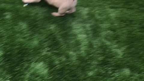 Frenchie steals princess cup