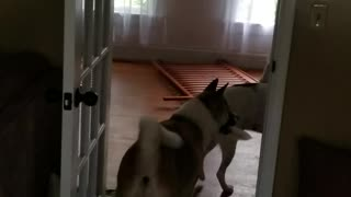 Disappearing blanket trick with akita