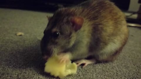 Cute pet rat really enjoys his nightly treat
