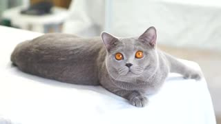 so sweet british shorthair kitten  - Video
