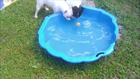 Pair of French Bulldogs enjoy pool time