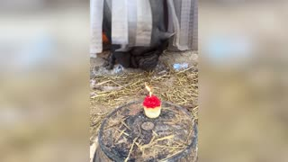 Adorable Pot Belly Pig Birthday Party