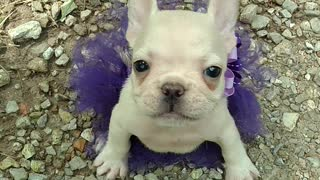 French Bulldog puppy sports her new tutu - Video