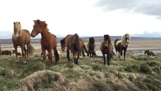 Majestic horses in Iceland surround man in the wild - Video