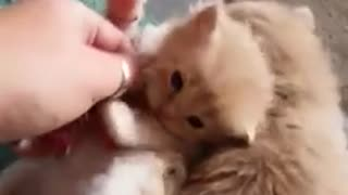 Adorable video of baby Toffee cat and his sister Fudge playing