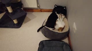 Cats Fight Over Bed
