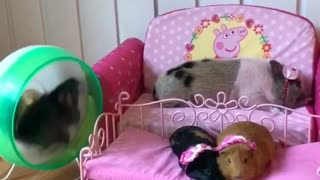 Exercising chinchilla keeps guinea pigs wide awake - Video