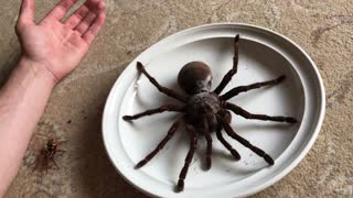Goliath The Giant Is The World's Largest Tarantula And He's Surprizingly Gentle - Video