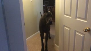 Maverick the Great Dane's a HUGE Chicken!  - Video