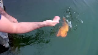 Lovely Fish likes petting - Video