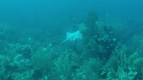 Rare Albino Stingray Glides Across Reef