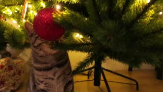 Cat chewing Christmas tree branch