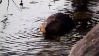 Beautiful underwater view of beaver family - Video